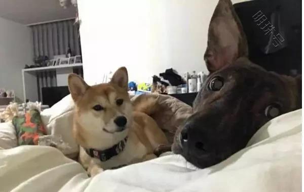 狗狗看见主人晕倒,抱起腿就啪