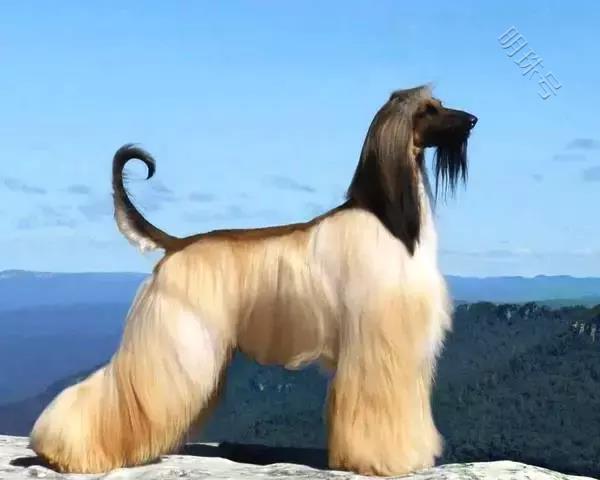 这么拉风的阿富汗猎犬,就该被禁养