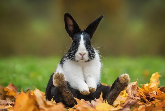 兔子逼急了真要吃自己的便便,它们的黑暗料理是什么