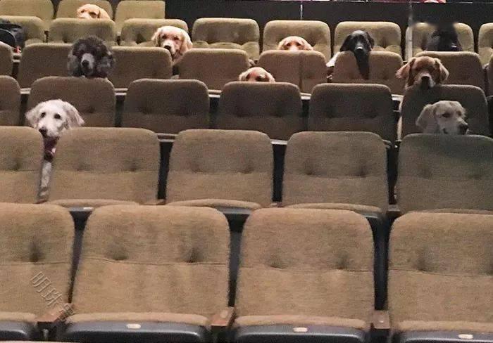 加拿大剧院后排竟坐的是狗砸,一共十二只汪星人,网友:超可爱