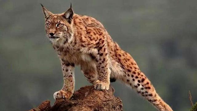 猞猁体型比较巨大,连狼见了都要害怕,在森林里究竟有多恐怖?