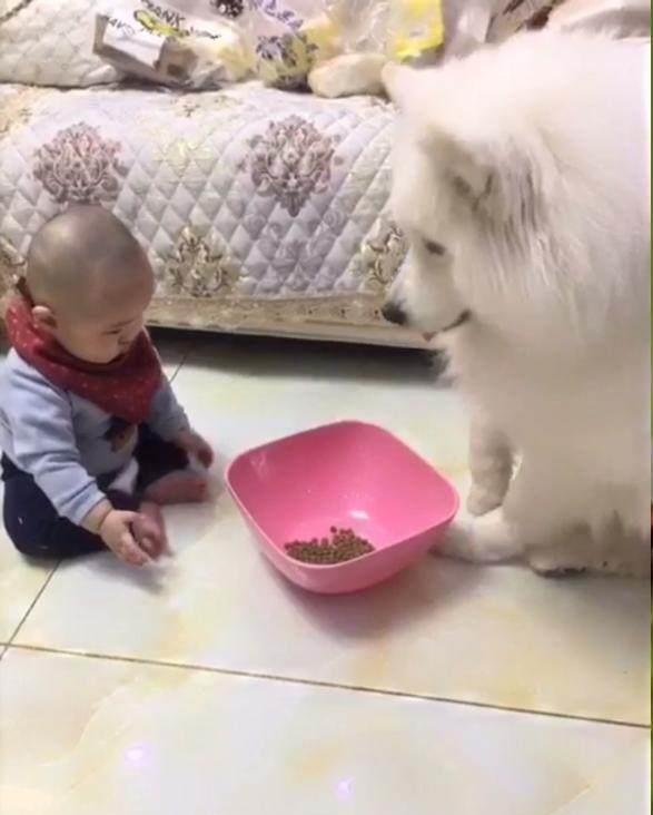 小主人跟萨摩争食,萨摩的做法我服了