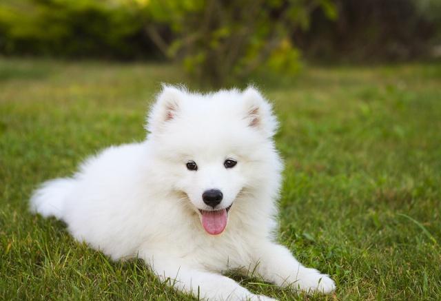 萨摩耶狗狗的十大性格特点,你知道几个?