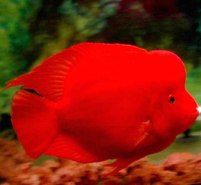 挑选鹦鹉鱼你不知道秘诀,这样饲养鹦鹉发财鱼更红更