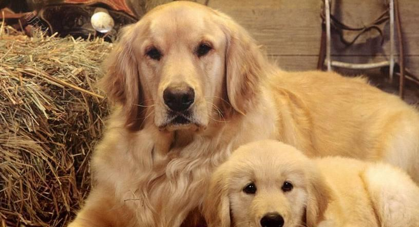4种萌萌哒超可爱的小狗,金毛温顺懂事