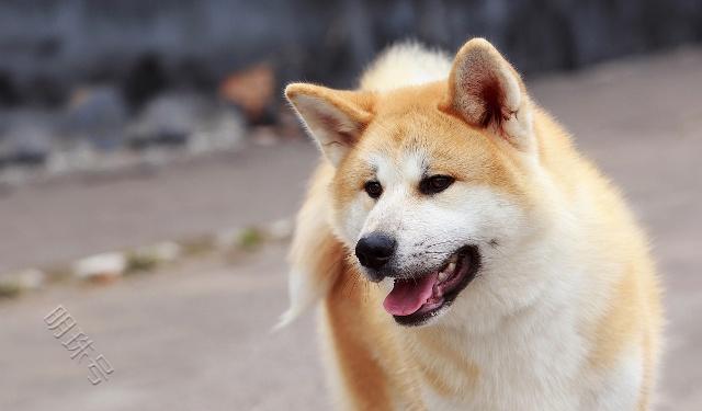 """""""秋田犬和柴犬相对比较, 你更喜欢谁?"""