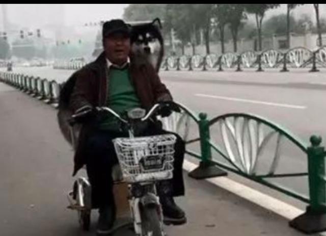 大爷骑车载着一只阿拉斯加, 它不吵不闹一脸乖巧表