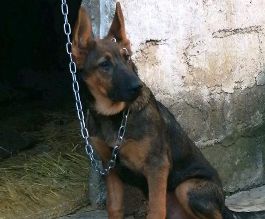 主人家里养了一只德国牧羊犬,本以为日子会好一点却