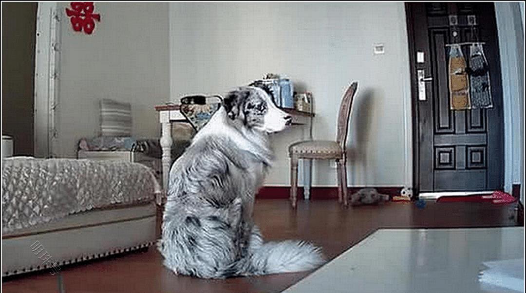 男子出差,怕狗狗拆家装了个监控