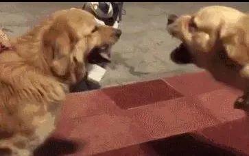 俩金毛在吵架,二哈路过耍无聊,变成俩金毛一起咬二哈