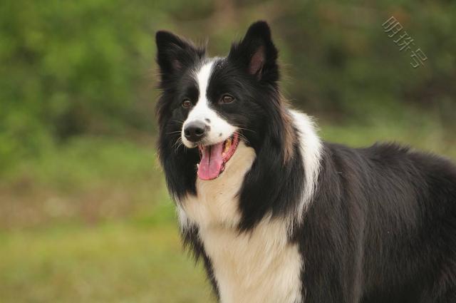 什么狗狗智商最高?最聪明的狗狗有哪些?
