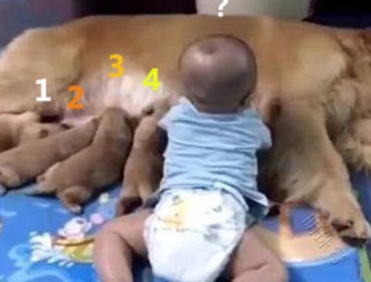 小奶狗躺在金毛身边喝奶,发现孩子多了一个,笑死人了