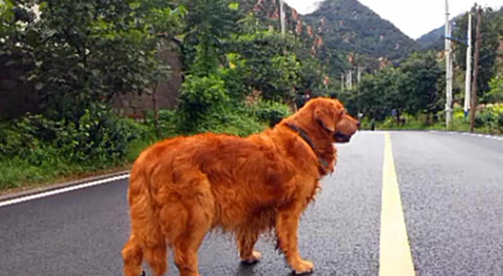 12岁金毛因病退役,被主人带回家后,狗子:谢谢你帮我