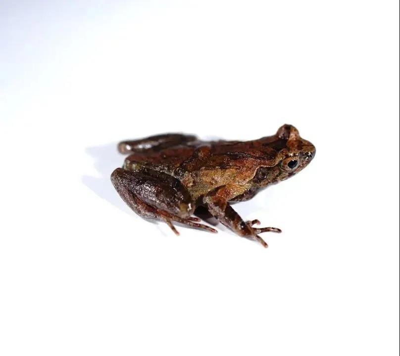 """浙江丽水发现两栖动物新物种,命名为""""百山祖角蟾"""""""