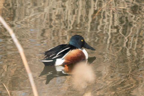 """青岛白沙河:各种水鸟悠哉过冬 自带""""铲子""""的琵嘴鸭引人瞩目"""