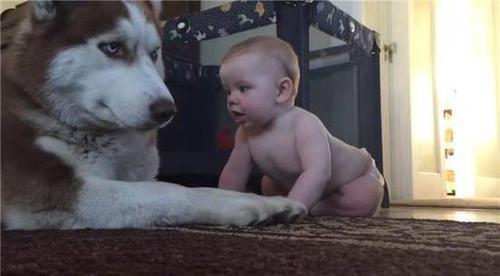 男子外出办事,将宝宝交给二哈照看,监控拍下的一幕令