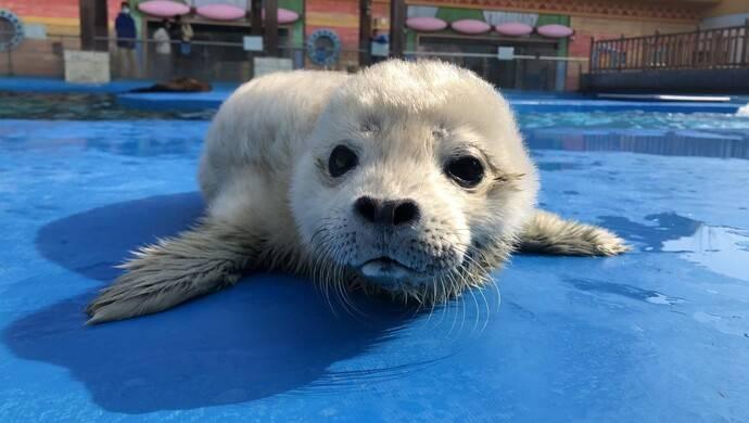"""超可爱萌翻了,上海海昌海洋公园迎来首只海洋生肖""""牛""""宝宝"""