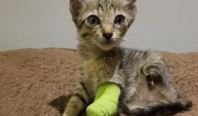 """""""猫咪小时候被老鼠吃掉双腿,仍努力活下来,坚强的样子让人心疼!"""
