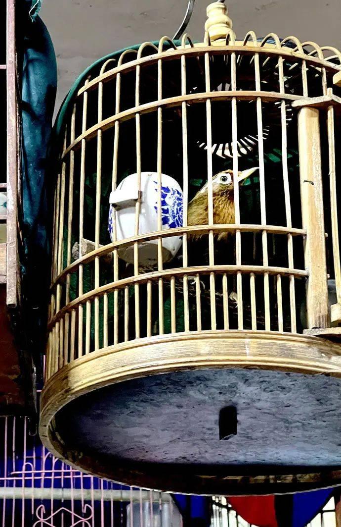 释新闻|笼养鸟晋升为国家重点保护动物,以后还能养鸟吗?