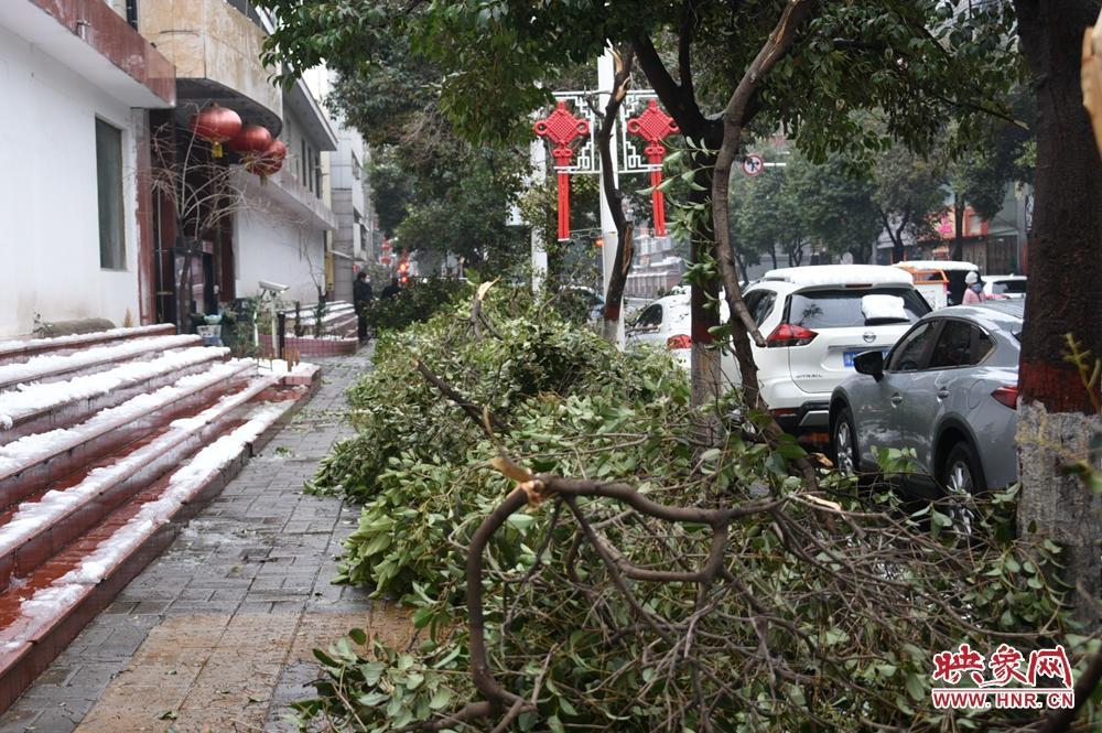 大雪使树木不堪重负 郑州纬三路上百棵大叶女贞树枝被压折