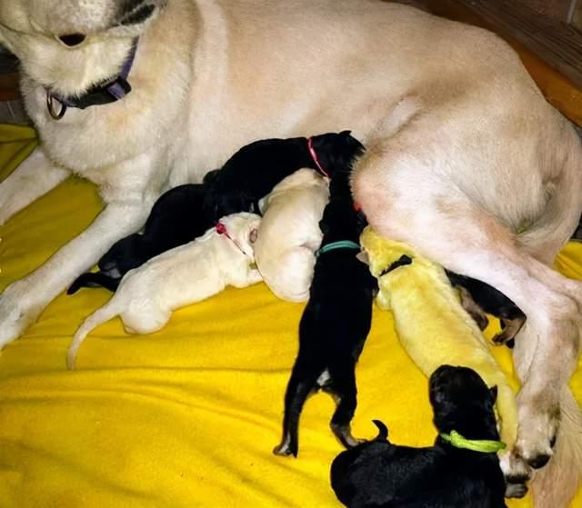 牧羊犬生了几只小狗,其中一只是绿色的,兽医的回答有