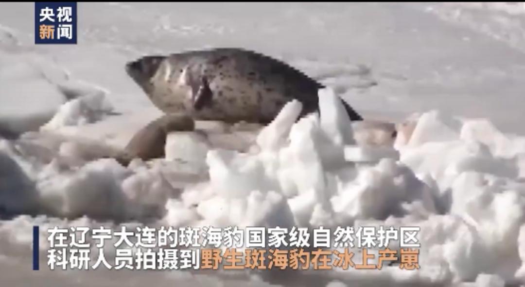 憨态可掬!科研人员拍到野生斑海豹冰上产崽