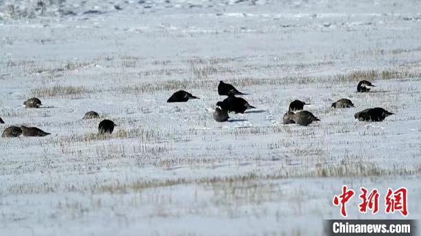 内蒙古大兴安岭监测到国家一级重点保护鸟类黑琴鸡种群