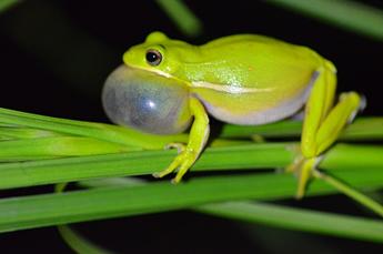 """论文:青蛙肺部能充当""""降噪耳机"""",从而更易关注配偶的叫声"""