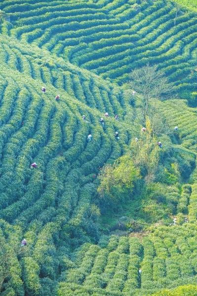 信阳毛尖明前茶受寒减产 成品茶每斤价格上浮15%到30%