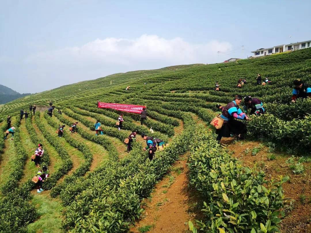 一季度,贵州春茶产量增收24%