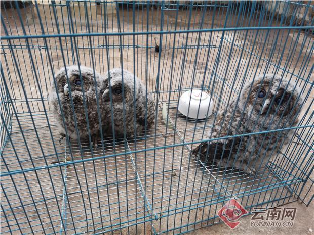 云南陆良警民携手救助国家二级保护动物猫头鹰