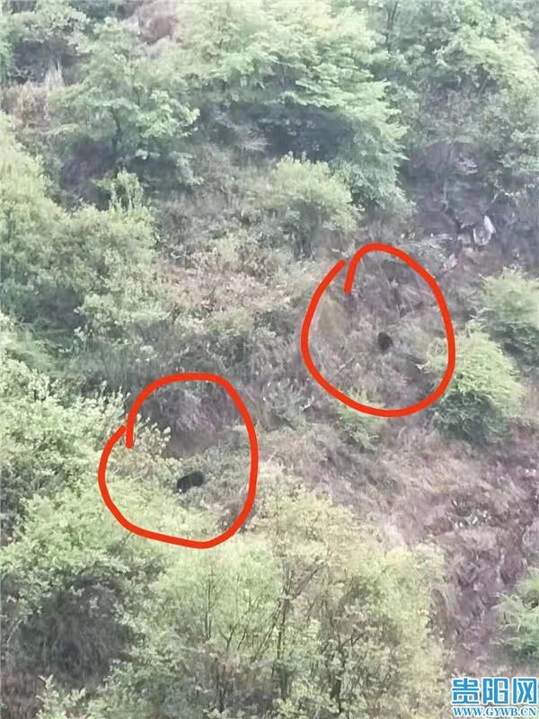 盘州部分区域发现有黑熊出没,相关部门发通告提醒村民:避开发现区域!