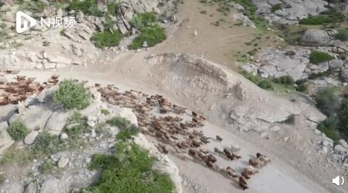 航拍新疆福海43万牛羊壮观转场,牲畜转场成为当地特有文化