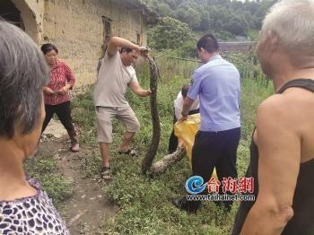 漳州南靖:破旧老屋惊现3米巨蟒
