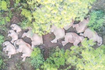 云南将助北迁亚洲象返回适宜栖息地