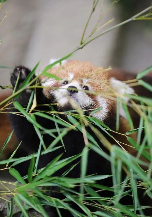 挑食的小熊猫很贪嘴,看见饲养员进来很激动:快放手,让