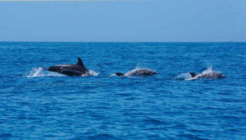 汕头海域首现超200头印太瓶鼻海豚,张张都是桌面!