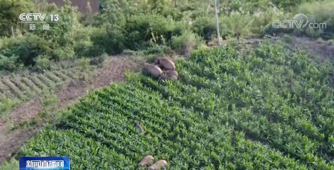 新闻追踪 | 云南北上亚洲象群转回峨山县第一天平稳有序