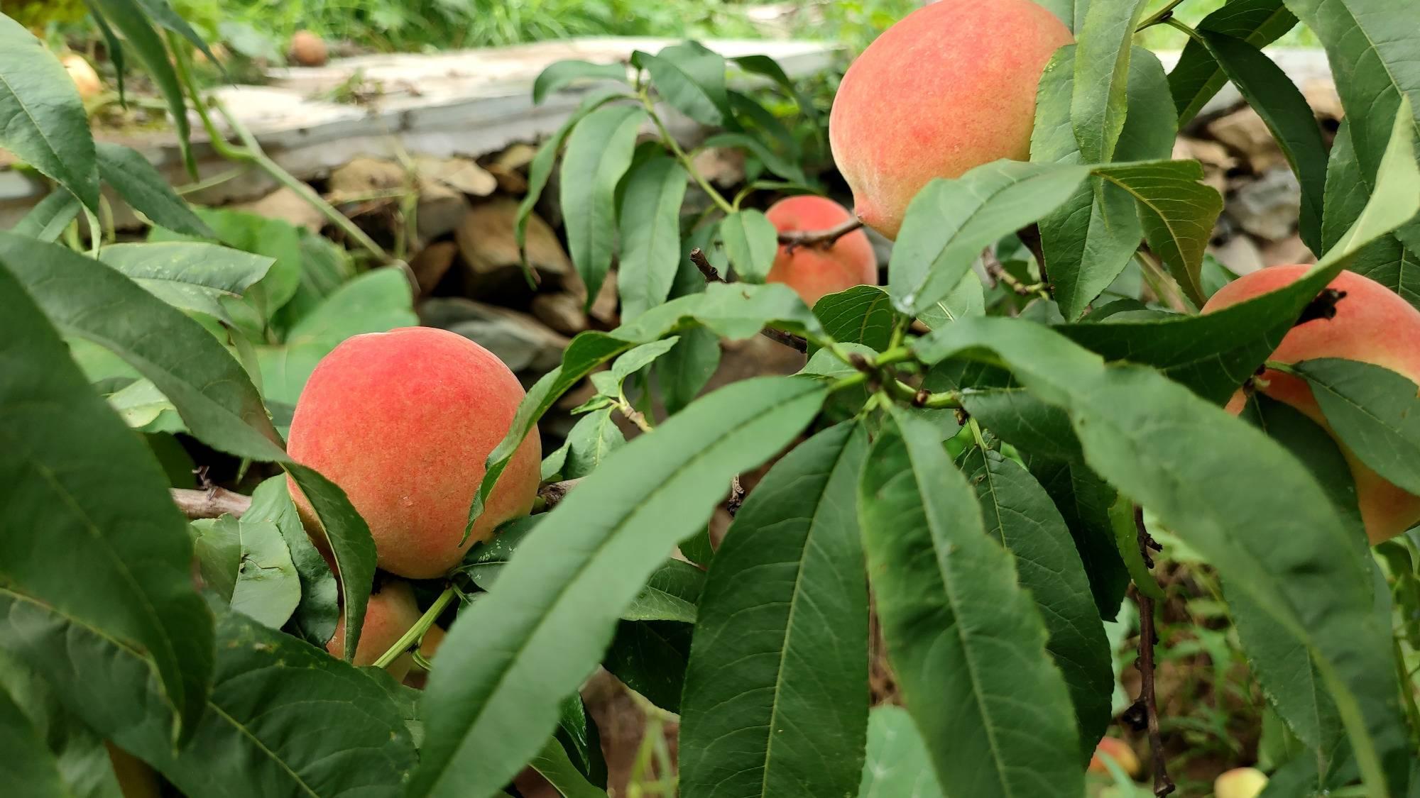 门头沟:百亩桃树挂果 果香怡人静待游客