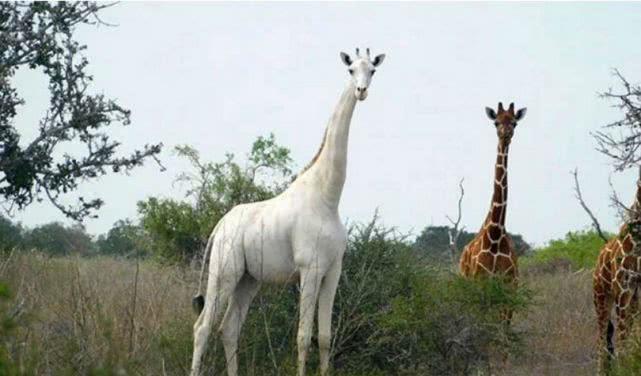 偷猎者射杀肯尼亚仅存雌性白色长颈鹿及其幼崽,尸体被发现