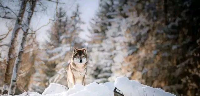 有些狼为何不攻击养狼人呢?原来狼和狗一样,忠诚度都