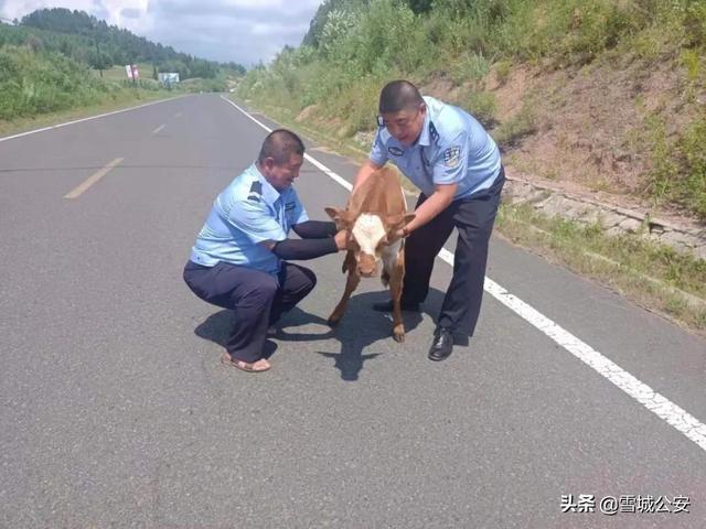 """心疼小牛犊!脐带未断就上了公路 民警几经周折送""""婴儿""""回家"""