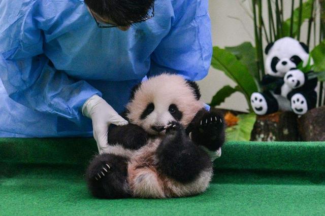 """国宝大熊猫,在日本成了""""摇钱树""""?"""