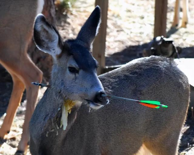 一头白尾鹿被利箭射穿头部后,依旧四处觅食,它不疼吗?