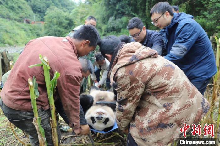 四川峨边:下山大熊猫年龄超18岁 正救治和监测
