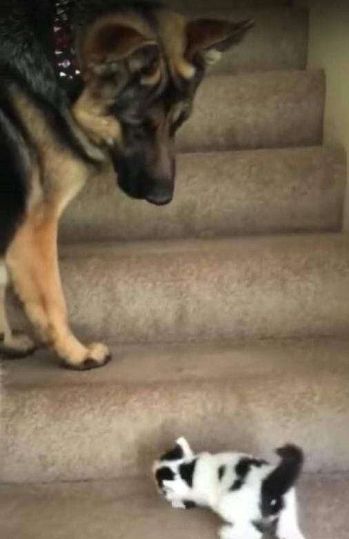 小猫不会爬楼梯,转头向前辈求救,大狼狗的反应颠覆惯
