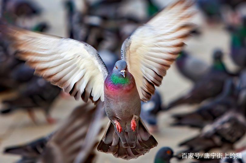 鸽子将接受训练,用与无人机同归于尽的方式,来阻止恐怖袭击
