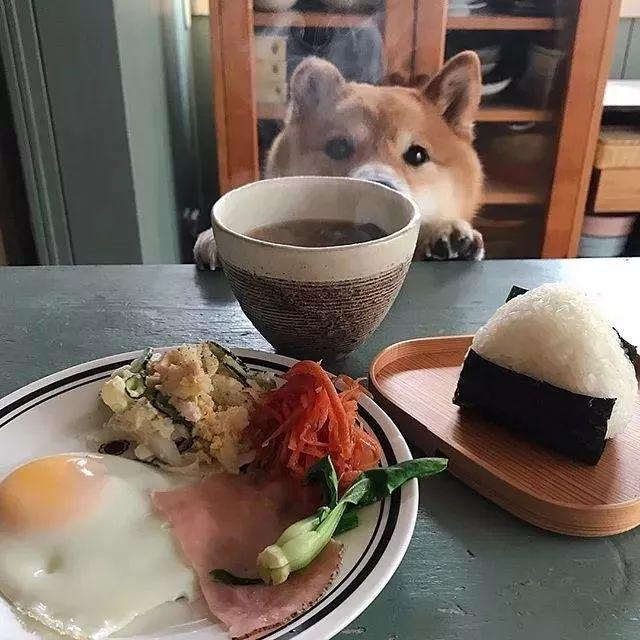 又骗我养狗,这只陪主人吃饭的柴犬,萌翻一大票人