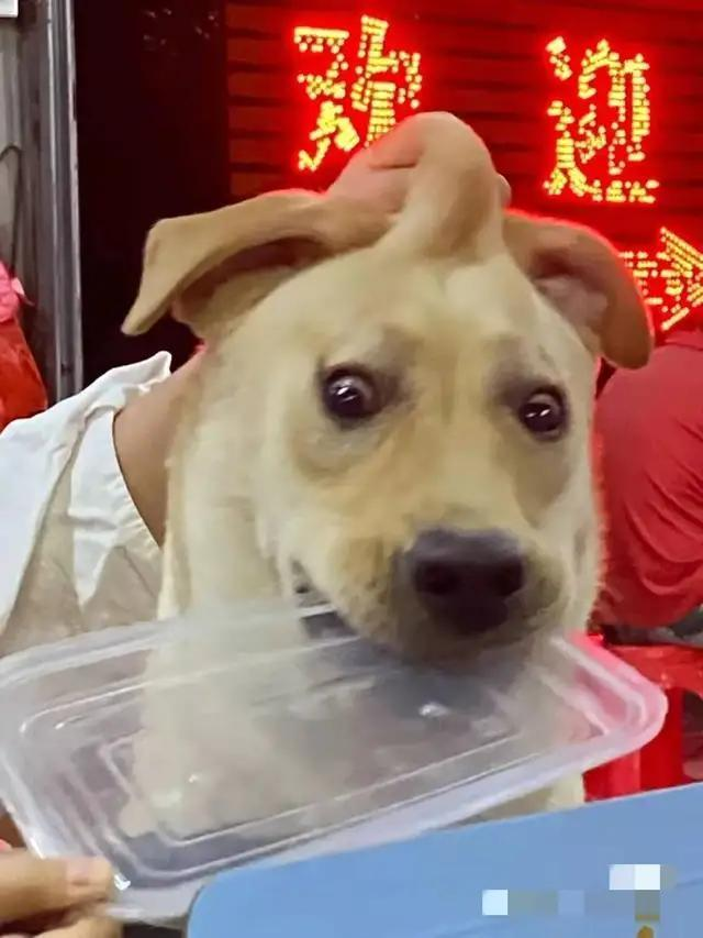 拉布拉多抢不到食物抢饭盒盖!狗狗:你吃你的菜,我舔我的盖?