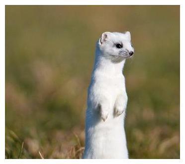 都说长了白毛的黄鼠狼道行高,其实黑尾巴的也不弱!